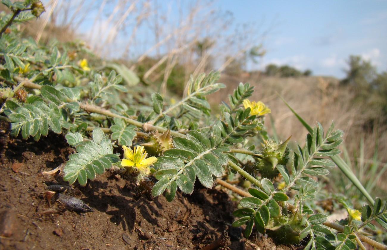 Что за растение якорец стелющийся