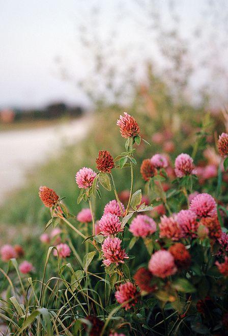 Применение настойки из цветков красного клевера